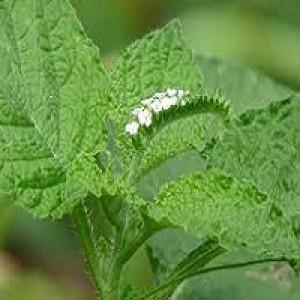 Heliotropium Inicum Indian Turnsole