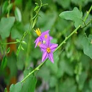 Solanum Trilobatum Purple Fruited Pea Plant