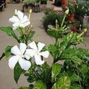 Tabernaemontana Divaricata Pinwheel Flower