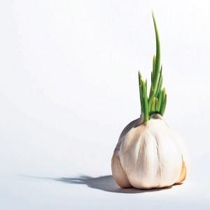 Jawara Garlic