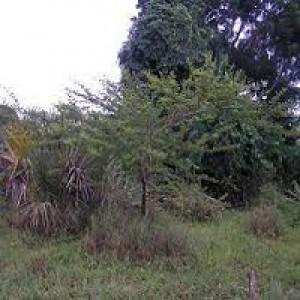 Acacia Nilotica Gum Arabic