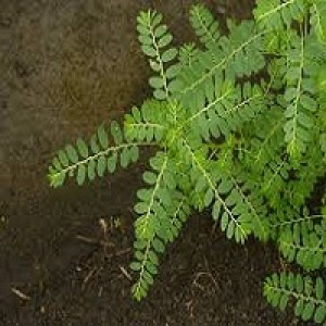 Phyllanthus Amarus Carry Me Seed