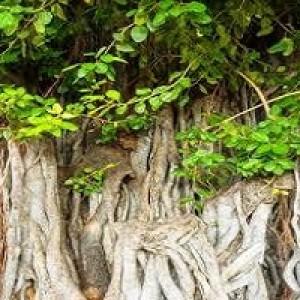 Ficus Benghalensis Banyan