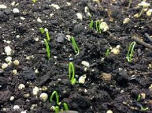 Planting Onion Seeds