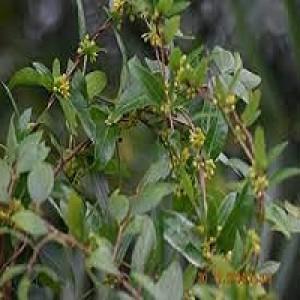 Hemidesmus Indicus Indian