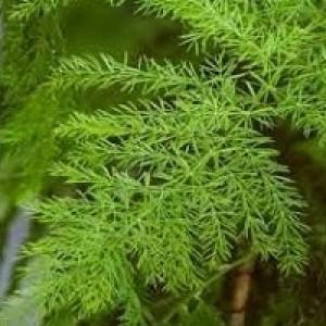 Asparagus Racemosus Shatavari