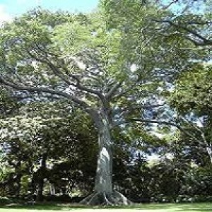 Ceiba Pentandra Kapok Tree