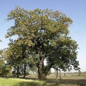 Madhuca Longifolia Illuppai