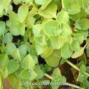 Coleus Aromaticus Indian Borage