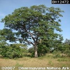 Lannea Coromandelica Indian Ash Tree