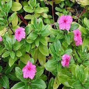 Catharanthus Roseus Periwinkle